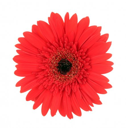 Beautiful red gerbera on white background