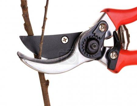 Photo pour Tailler une branche d'arbre avec sécateur isolé sur blanc - image libre de droit