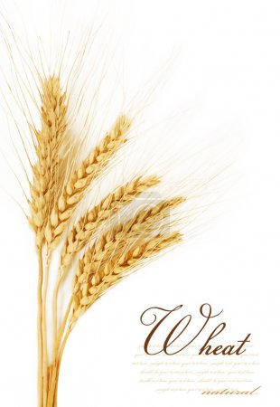 Photo for Ears of wheat. isolated on a white background - Royalty Free Image