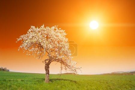 Photo pour Magnifique coucher du soleil vif sur le pommier fleuri au printemps - image libre de droit