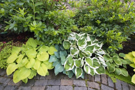 Variety of Hostas and Shrubs Along Garden Path
