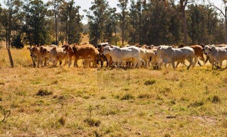 Herd of Brahman beef cattle moving across paddock