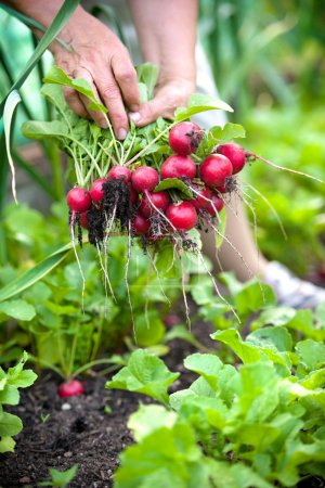 Photo for Woman picking fresh radish from her garden - Royalty Free Image