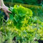 Woman picking fresh lettuce from her garden...