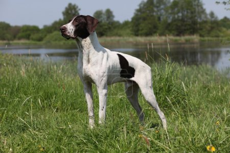 German Shorthaired Pointer in a rack...