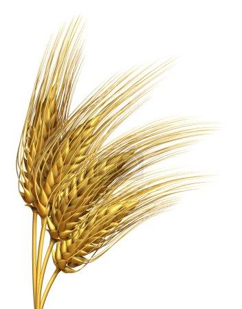Photo pour Élément de conception des cultures récoltées de blé ou d'orge isolé sur fond blanc en tant que symbole agricole d'aliments purs, entiers et sains pour les produits de boulangerie et de la farine biologique . - image libre de droit