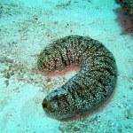 Sea cucumber, Indian Ocean...