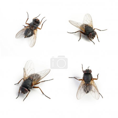 Photo for Black housefly dead set collage on white background. Taken in Studio with a 5D mark III. - Royalty Free Image