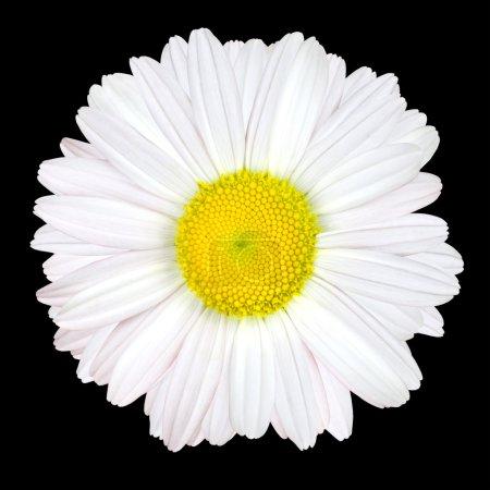 Photo pour Fleur de marguerite blanche isolée sur fond noir - Blanc avec centre jaune - image libre de droit