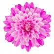 Pink Chrysanthemum Flower Isolated on White Backgr...