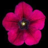 Purple Morning Glory Flower Isolated on Black