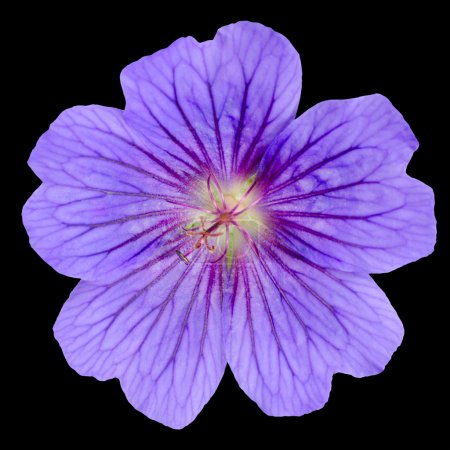 Beautiful Purple Geranium Flower with Isolated