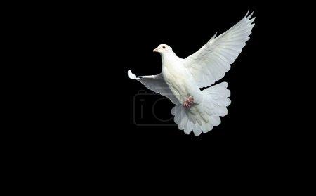 Photo pour Blanche colombe en vol libre avec un fond noir isolé - image libre de droit