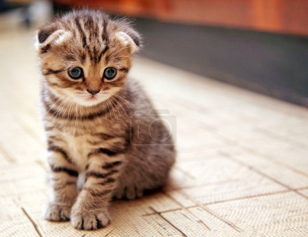 Funny curious Scottish fold kitten...