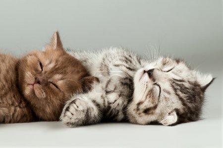 Photo pour Deux chaton beau gris moelleux, race écossaise-pli, mensonge portrait sur fond gris - image libre de droit