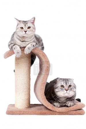 Fluffy beautiful adult cat
