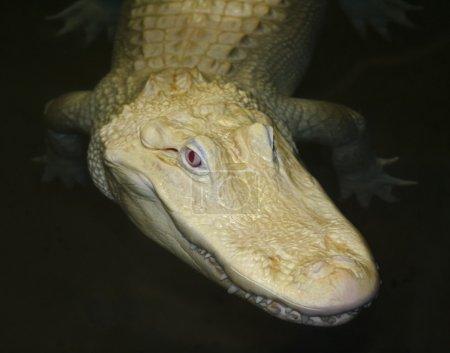 A Rare Albino American Alligator Lurks at Night