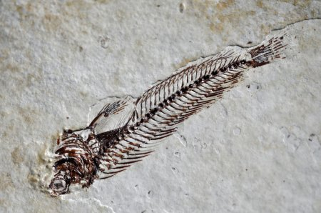 Fossil fish skeleton