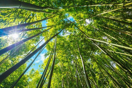 Photo for Bamboo forest with morning sunlight - Royalty Free Image