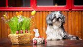 Shih-tzu a velikonoční zajíčci