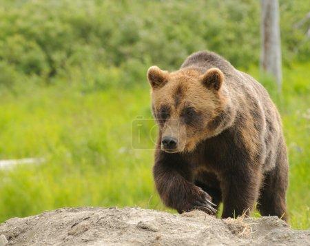 Photo pour Grizzli au repos près d'un ruisseau - image libre de droit