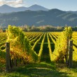 Closeup of a vineyard in Wairua valley, New Zealand