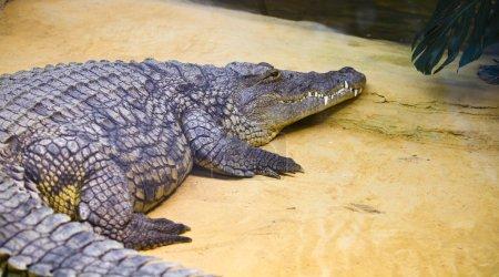 Portrait of a crocodile in a reptilarium