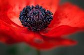 Poppy macro - Soft background