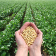 Human hand holding soybean, with field in backgrou...