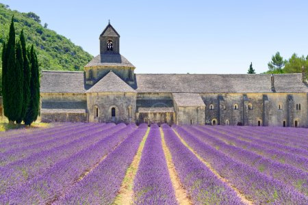 abbey of senanque blooming lavender flowers