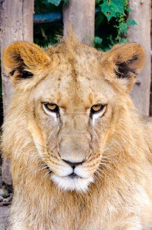 Photo pour Tête de lion grincheux dans le zoo - image libre de droit