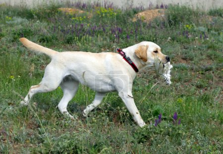 Yellow Labrador running and carrying a bird