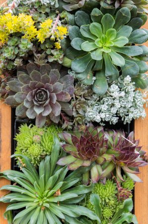 Sedum or sempervivium used for green roofs
