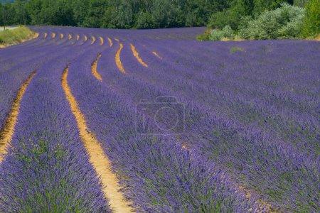 Photo pour Champ de lavande couleur. Paysage naturel et végétal en Provence, France . - image libre de droit