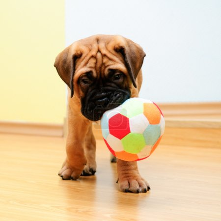 Photo for Little puppy bullmastiff played in the house. square shape pictures - Royalty Free Image