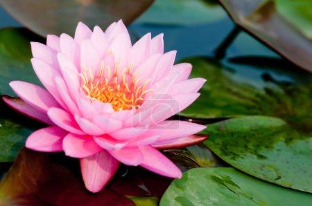 Photo pour Lotus rose sur la rivière - image libre de droit