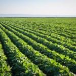 Soybean field with rows of soya bean plants...