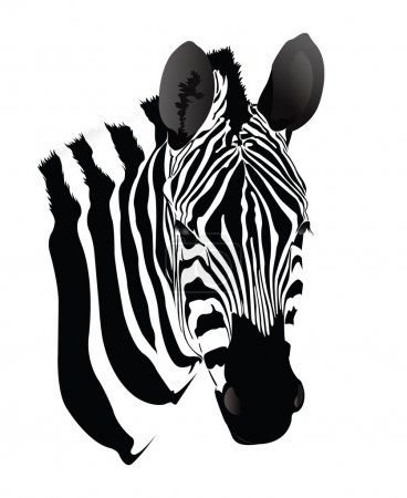 Illustration for Realistic black and white zebra drawing - Royalty Free Image