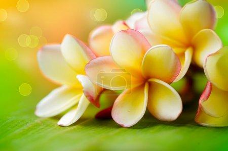 Photo pour Frangipani Tropical Spa Flower. Plumeria. DOF peu profond - image libre de droit