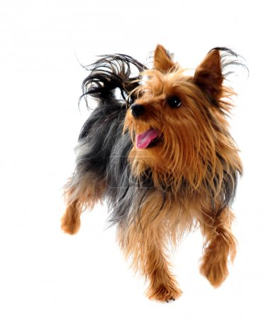 Puppy yorkshire terrier taking a walk
