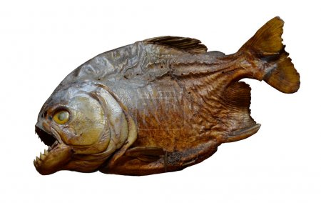 Piranha fish specimen isolated on white background