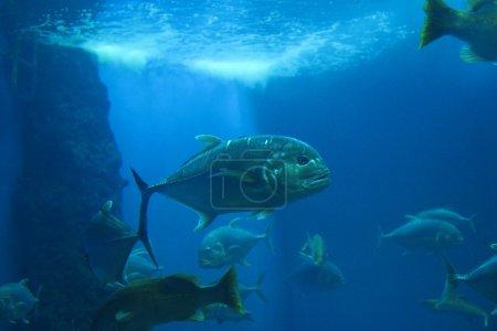Giant trevally fish...