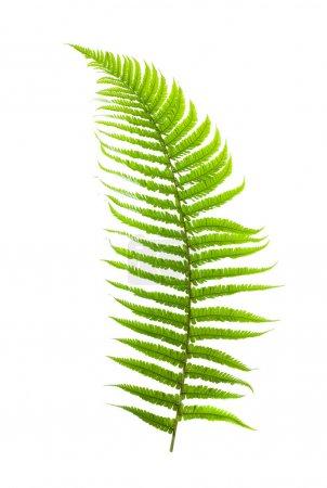 Fern branch