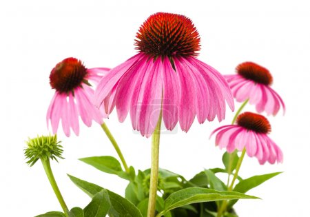Photo for Coneflowers isolated on white background - Royalty Free Image