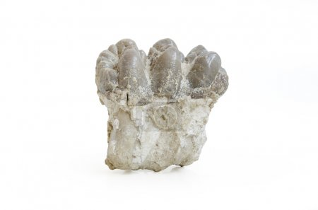 Mastodon molar isolated on white background