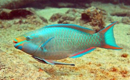 A beautiful parrotfish swims along a tropical reef...