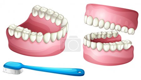 Illustration of denture and tooth brush on a white...