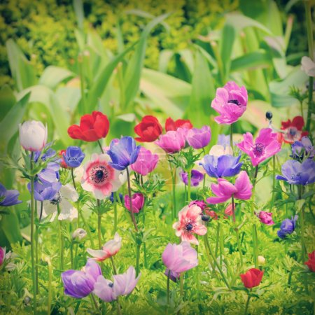Photo for Flowers of Anemone on field - Royalty Free Image