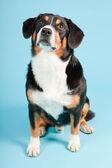 Entlebucher horský pes izolované na světle modrém pozadí. Studio záběr