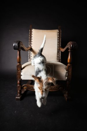 Jack russell puppy jumping out of chair isolated on black background. Studio shot.